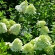 Hydrangea paniculata 'Candlelight' - Fehér, bugás hortenzia