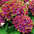 Hydrangea macrophylla 'Schloss Wackerbarth' – Kerti hortenzia