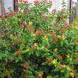 Hypericum x inodorum 'Orange Flair' – Narancs-piros bogyós orbáncfű bogyósan