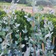 Eucalyptus gunni 'Silverana'® - Eukaliptusz