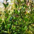 Luma apiculata – Chilei luma