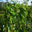 Lonicera japonica 'Aureoreticulata' - Tarka levelű japán futólonc (fehér-sárga)