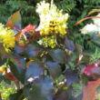 Mahonia aquifolium 'Smaragd' – Zöld levelű mahónia