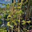 Acer campestre 'Pulverulentum' – Mezei juhar