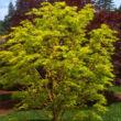 Acer palmatum 'Japanese Sunrise' – Japán juhar