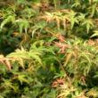 Acer palmatum 'Wilson's Pink Dwarf' – Japán juhar