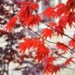 Acer palmatum 'Yasemin' – Japán juhar