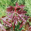 Acer platanoides 'Charles Joly' – Korai juhar