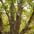 Acer platanoides 'Oregon Pride' – Korai juhar