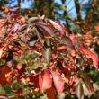 Aesculus glabra 'October Red' – Vadgesztenye