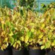 Cornus sanguinea 'Midwinter Fire' – Zöld levelű, narancsos vesszőjű som