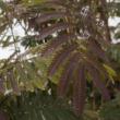 Albizia julibrissin 'Summer Chocolate' - Bordó levelű selyemakác