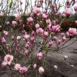 Magnolia 'Lennei' – Nagyvirágú liliomfa