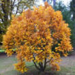 Quercus pontica – Pontuszi tölgy
