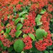 Viburnum plicatum 'Shasta' - Redőslevelű bangita termésekkel
