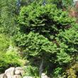 Ulmus elegantissima 'Jacqueline Hillier' - Törpe szil