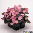 Begonia semperflorens 'New Globe® Rose' - Bordó levelű begónia