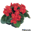 Begonia semperflorens 'Quick® Red' – Begónia (piros)