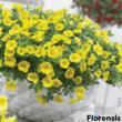 Calibrachoa 'Cabaret® Pure yellow' – Dúsvirágú petúnia
