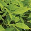 Ipomoea batatas 'Solar Power® Green' – Édesburgonya