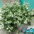 Scaevola aemula 'Print White' – Legyezővirág