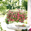 Petunia 'Amore® Queen of Hearts' – Petúnia
