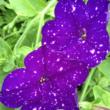 Petunia 'Constellation® Virgo' – Petúnia