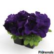Petunia grandiflora 'Pacta Parade® Blue' – Petúnia