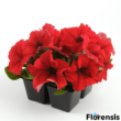 Petunia grandiflora 'Pacta Parade® Red' – Petúnia