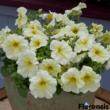 Petunia grandiflora 'Parade® Yellow' – Petúnia