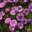 Aster novi-belgii 'Patricia Ballard' - Kopasz lilás rózsaszín őszirózsa