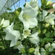 Campanula persicifolia 'Takion White' - Baracklevelű fehér harangvirág