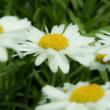 Leucanthemum x superbum 'Gruppenstolz' – Kerti, óriás margaréta (14-es cserép)