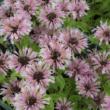 Monarda 'Beauty of Cobham' - Méhbalzsam (lilás rózsaszín)