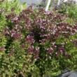 Origanum vulgare 'Compactum' - Tömött vadmajoranna (szurokfű; oregano)