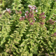 Origanum vulgare 'Compactum' - Tömött vadmajora levélzetnna (szurokfű; oregano) lombozat