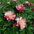 Paeonia itoh 'Julia Rose' – Itoh bazsarózsa