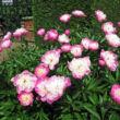 Paeonia lactiflora 'Bowl of Beauty' – Illatos bazsarózsa