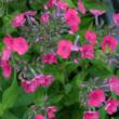 Phlox 'Twinkle Cerise' - Bugás lángvirág