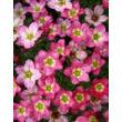 Saxifraga x arendsii 'Ingeborg' - Kőtörőfű virág