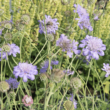 Scabiosa columbaria 'Mariposa Blue' – Galambszínű ördögszem
