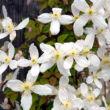 Clematis montana 'Alba' - Iszalag (fehér)
