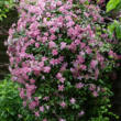 Clematis montana 'Broughton Star' - Iszalag (dupla rózsaszín)