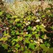 Rubus idaeus 'Betty Ashburner' – Örökzöld málna