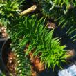 Araucaria araucana - Chilei araukária