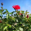 Rosa 'San Remo' – Ciklámen, csüngő koronájú magastörzsű rózsaoltvány