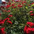 Rosa 'Detroit' - sötétpiros törpe - mini rózsa