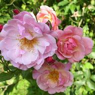 Kedves, bájos virágfejeivel köszönt a Marchenland rózsafajta