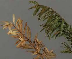 A Phytophthora ramorum tünetei vízhiányos, kiszáradt növény látványát nyújtják.