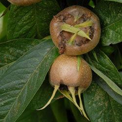 Naspolya termése a jellegzetes öt csészelevél maradvánnyal